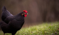 A  black hen nibbling on the green grass in the garden near the forest in cloudy weather. gallus gallus domesticus bird feeding at the farm