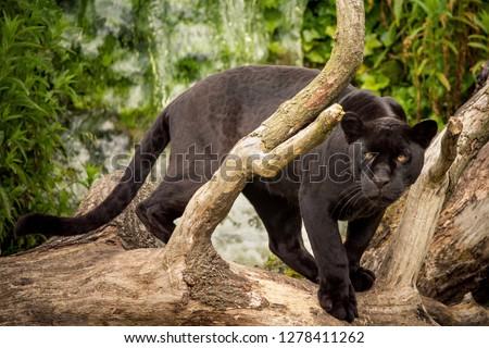 A Black Jaguar prowling #1278411262