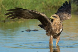 A Black Kite (Milvus migrans) with wings spread out standing in a pool of water