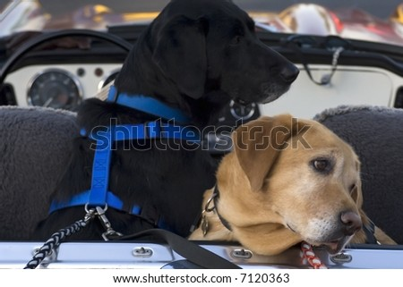 A black lab and a yellow lab in the back of a convertible