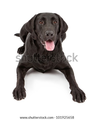 A black Labrador Retriever dog laying down against a white backdrop