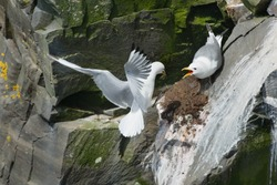 A Black-legged Kittiwake is flying back to its nest and its waiting mate. Cape St. Mary's Ecological Reserve, Newfoundland and Labrador, Canada.