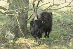 A Black longhaired land goat with curled horns stands under a tree.