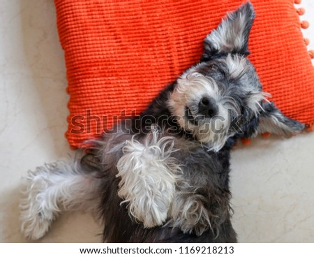 A black miniature schnauzer sleeping tight like a baby on red pillow with copy space #1169218213