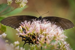 A black morph of the Eastern Tiger Swallowtail. Raleigh, North Carolina.