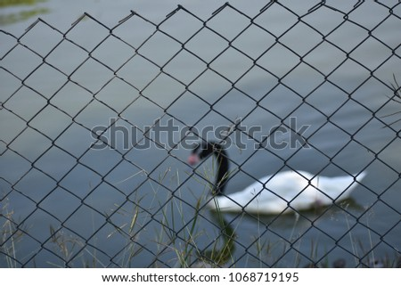 A black necked swan in pond #1068719195