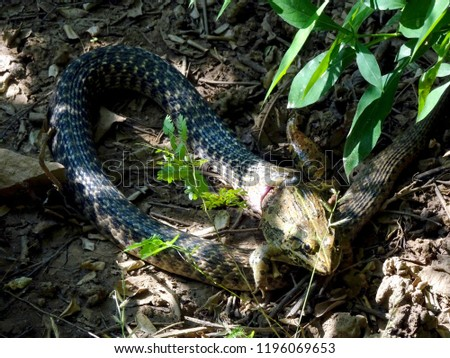 Stock Photo A black predator dangerous snake trying to hunt down and eat the prey  victim frog close up