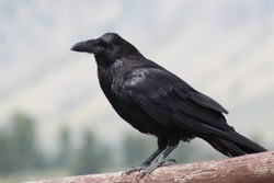 A black raven in the mountains, in Yellowstone National Park, Wyoming.