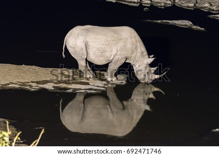A black rhinoceros, Diceros bicornis, drinking water at an artificially lit waterhole in Northern Namibia after sunset. Its reflection is visible on the water