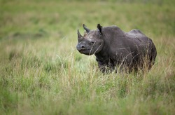 A black rhinoceros (Diceros bicornis) on the open plains of Kenya's Maasai Mara National Reserve. The black rhinoceros is classified as critically endangered by the IUCN.