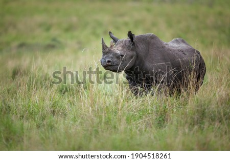 A black rhinoceros (Diceros bicornis) on the open plains of Kenya's Maasai Mara National Reserve. The black rhinoceros is classified as critically endangered by the IUCN. Сток-фото ©