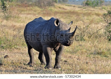 A Black Rhinoceros in the Kruger Park, South Africa.