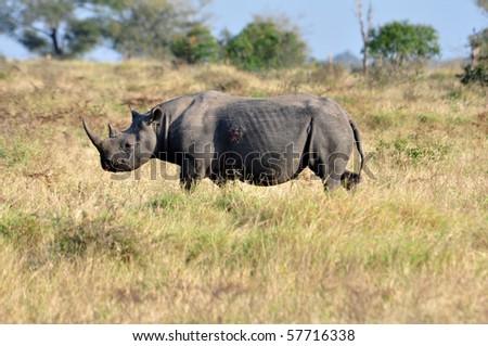 A Black Rhinoceros in the Kruger Park, South Africa.