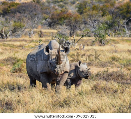 A Black Rhinoceros mother and six month old calf in the Eastern Cape, South Africa