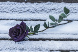 A black rose lies in the snow on a bench in the cold winter. Black rose in winter as a symbol of separation and sadness