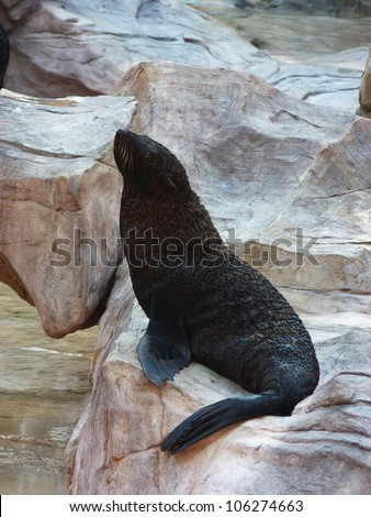 A Black Sea Lion on The Rock