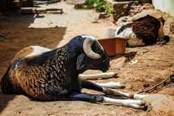 A black sheep lies on a dusty street in Goree Island, Senegal, Africa. Next to it has a container of food. Resting in the shade of stone houses. It is a sunny day.
