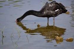 A black swan bird stands in a pond on a sunny summer day. a swan is looking for food while standing in the lake. big beautiful black swan