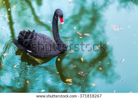 Stock Photo A black swan  In a ponds