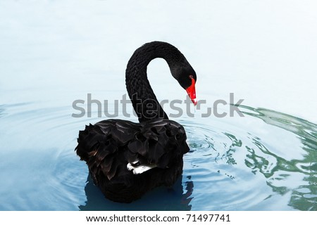 Stock Photo A black swan swimming on a pool of blue water. Cygnus