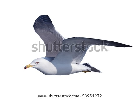 A black-tailed gull flies by a white back