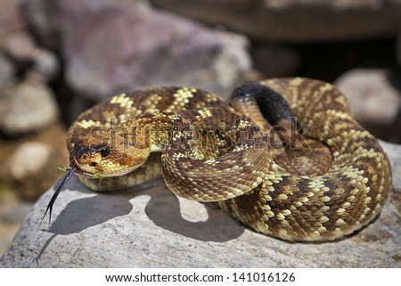 A Black-tailed or Green Rattlesnake (Crotalus molossus) in Arizona, USA. Snake stares at camera and flicks its tongue. Heat pits are easily visible in this macro image. - stock photo