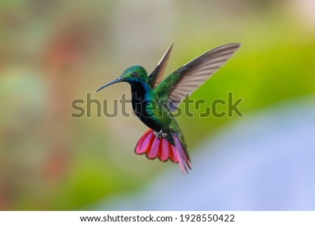 A Black-throated Mango hummingbird (Anthracothorax nigricollis) hovering with his tail spread and smooth background. wildlife in nature. Bird in flight. Hummingbird in garden Stock photo ©