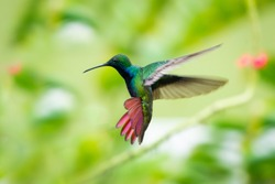 A Black-throated Mango hummingbird hovering with his tail flared and lush foliage blurred in the background.