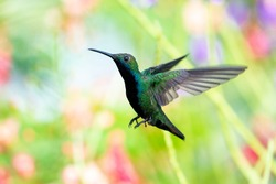 A Black-throated Mango hummingbird hovering with pastel colored flowers blurred in background. hummingbird in nature, wildlife outdoors, bird in flight, tropical bird in garden.