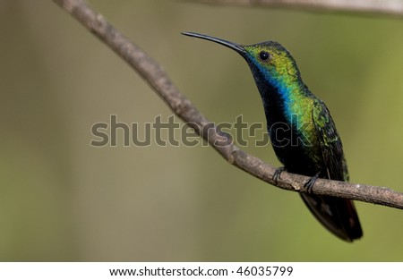 A Black-throated Mango (Hummingbird) perched on a thin twig, facing left - Argentina.