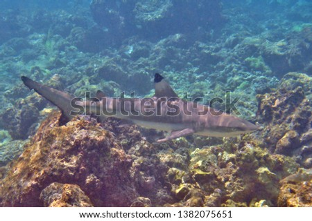 A Black-tip Reef Shark swimming along the coral reefs of the Maldives. #1382075651