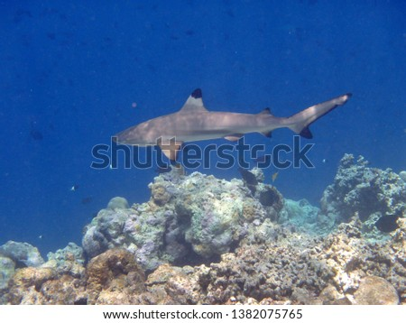 A Black-tip Reef Shark swimming along the coral reefs of the Maldives. #1382075765