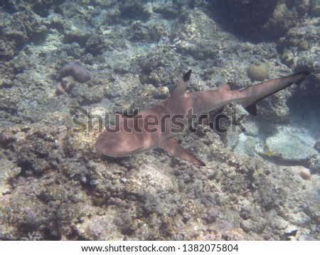 A Black-tip Reef Shark swimming along the coral reefs of the Maldives. #1382075804