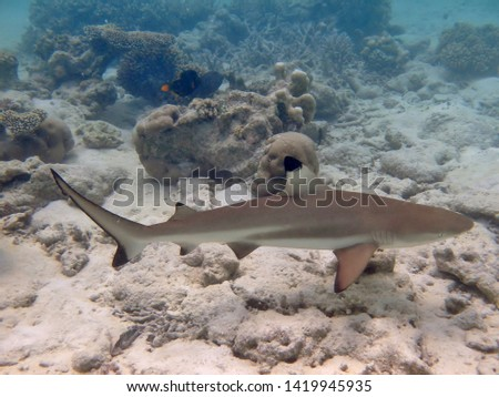 A black tip reef shark swimming on the coral reefs of the Maldives. #1419945935
