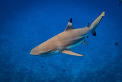 a black tip shark in front of the lagoon of Bora Bora