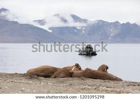 A black tourist boat observing a herd of male walruses suntanning on the beach. Longyearbyen, Svalbard. #1201095298
