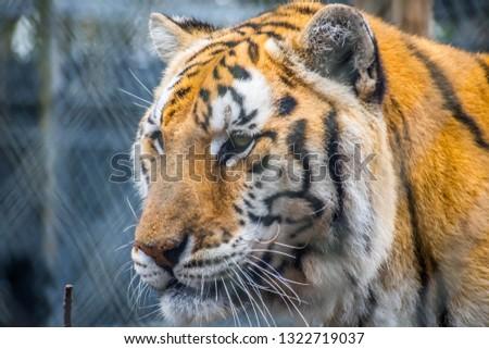 A black transverse stripes Siberian Tiger in Florida #1322719037