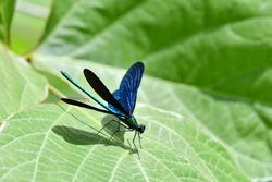 A black wings damsel fly.