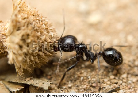 A black worker ant (Lasius niger) dragging vegetation to the colony - stock photo