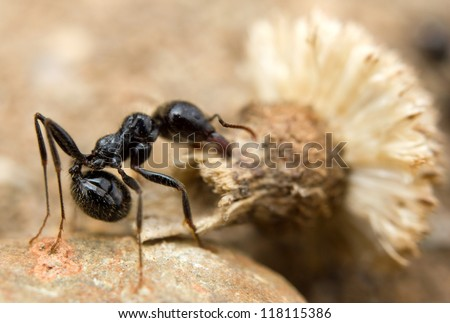 A black worker ant (Lasius niger) dragging vegetation to the colony