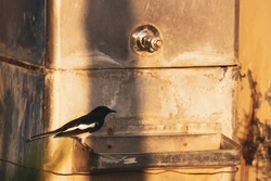 A blackbird robin sitting on the water dispenser to drink water from tap