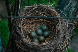 A blackbird's nest on an apple tree. A nest with eggs. Blue thrush eggs in the nest in the spring. Chicks.