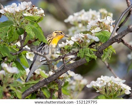 A blackburnian warbler looks over an apple blossom. Bright yellow with black stripes, the warbler stands out on from the green leaves and white blossoms.