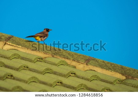 A Blackeyed Bulbul (Punconotus barbatus) in an urban environment, sitting of a house roof.