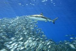 A blacktip reef shark, Carcharhinus melanopterus, swimming above a school of fish with sunbeams slanting through the blue water background. Uepi, Solomon Islands. Solomon Sea, Pacific Ocean