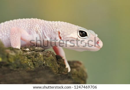 A Blazing Blizzard is a combination of the Blizzard morph and any of the 3 Albino strains. A Blazing Blizzard is a Blizzard which will have more of a yellow coloring. The eyes will also look like the