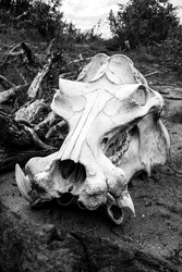 A bleached Hippo scull (Hippopotamus amphibious), of an animal which died during the previous year's drought, photographed in Black and White in the Kruger National Park south Africa