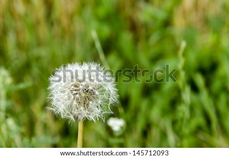 stock-photo-a-blooming-dandelion-145712093.jpg