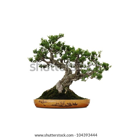 A blooming green bonsai miniature tree in an oriental pot isolated against white.