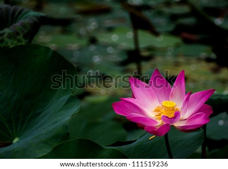 A blooming lotus flower in a green pond